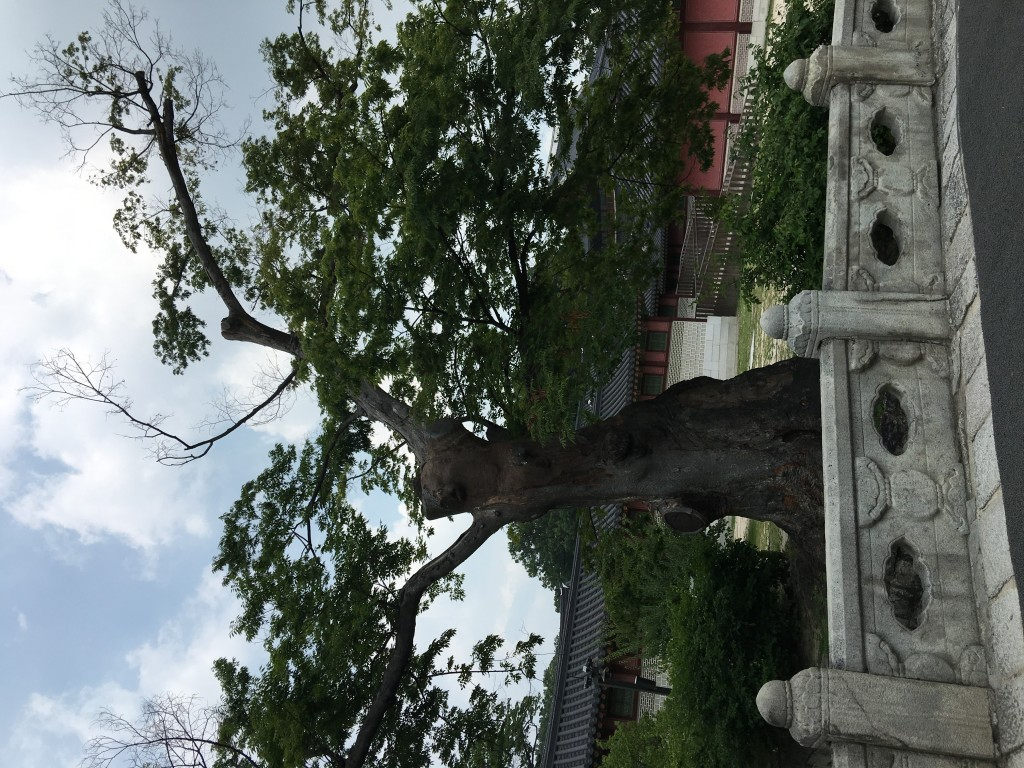 Daraenamu Tree in Changdeokgung Palace